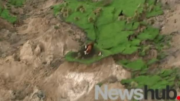 [NATL] Cows Stranded by Earthquake