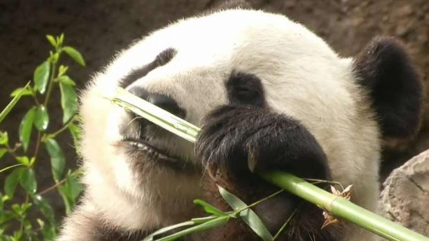 Giant Pandas Farewell Tour Kicks Off at Zoo