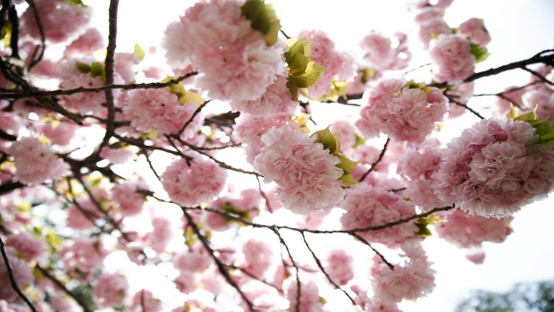 Cherry Blossoms Expected to Peak in San Diego This Week