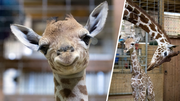 Adorable Zoo Babies: Gus the Giraffe Born in England
