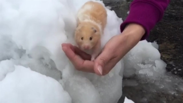 Hamster Enjoys Mount Laguna Snow