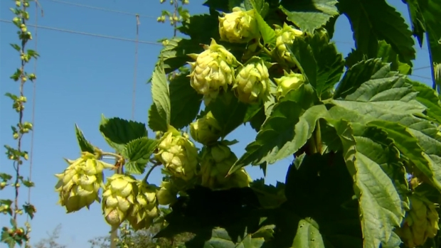[G] San Diego Hop Farms Grow Amid Thriving Craft Beer Industry