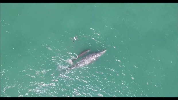 Gray Whale Research from Drones