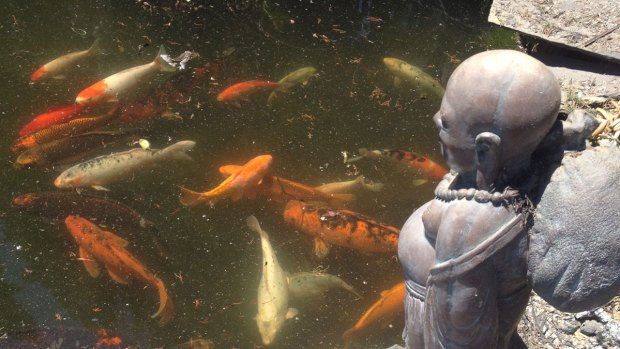[DGO] WATCH: Koi Survives at Harmony Grove Retreat