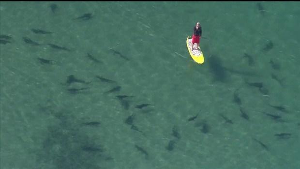 Leopard Sharks Return to La Jolla