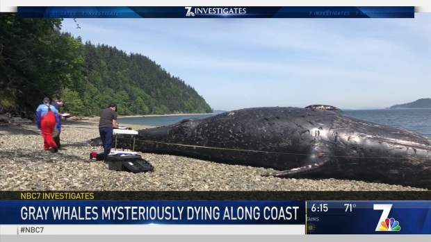 Huge Numbers of Gray Whales are Mysteriously Dying