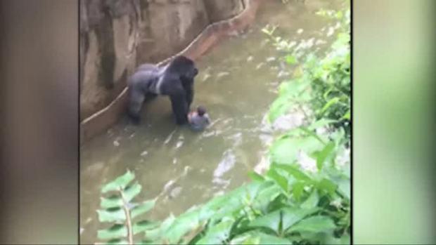 [NATL] Gorilla Shot After Handling Boy Who Fell Into Zoo Enclosure