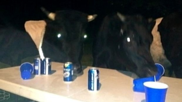 [NEWSC] Cows Crash Backyard Party