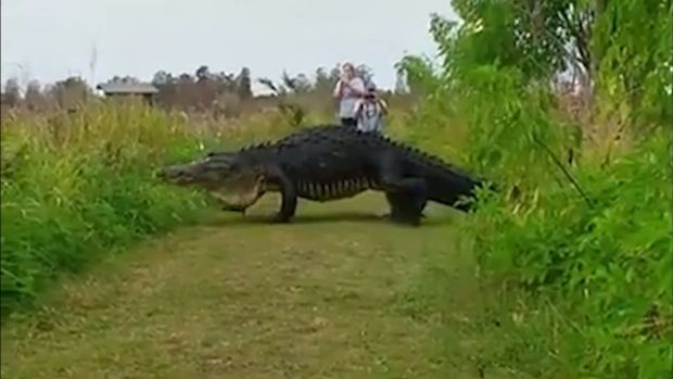 [NATL] Visitors to Wildlife Preserve Catch Glimpse of Massive Gator