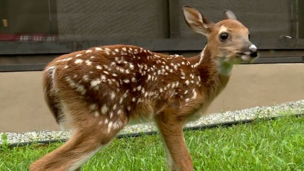 [NATL] Trooper Saves Adorable Baby Fawn After Pregnant Deer Hit by Car