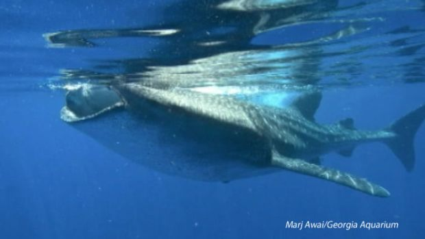 [NATL] New Marine Study Demystifies Whale Sharks