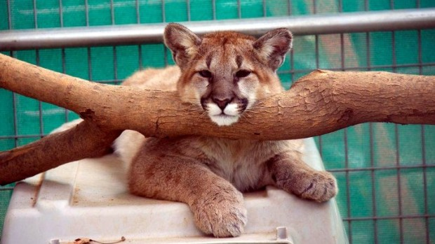 Mountain Lion Cubs' OC Zoo Debut