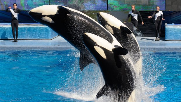 SeaWorld to Phase Out 'Theatrical' Killer Whale Show