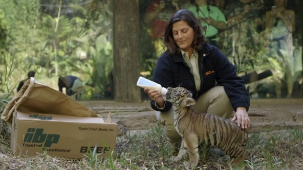 [DGO] New Sumatran Tiger Cub Suka Explores Exhibit