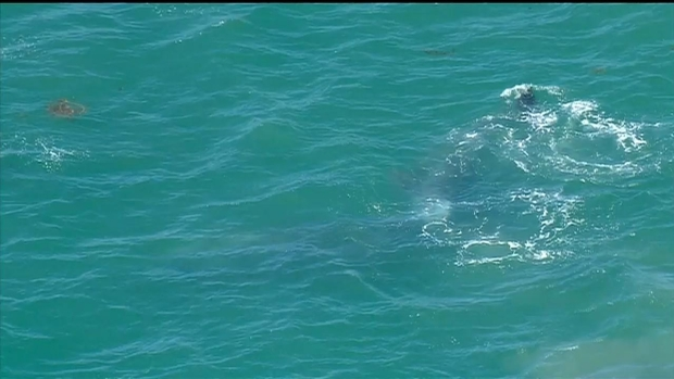 [DGO] RAW VIDEO: Baby Gray Whales Swimming Off SoCal Coast