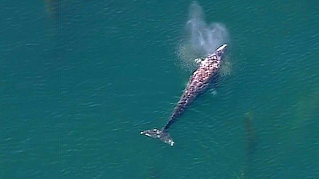 [DGO] WATCH: Whale Spotted Off La Jolla Coast