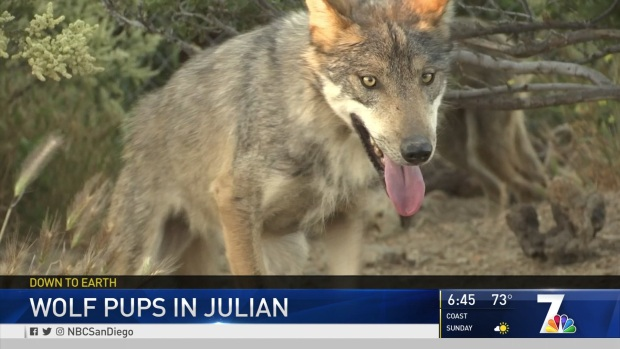 Mexican Grey Wolf Pups in Julian