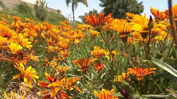 Spring Allergies Reach Severe Status in San Diego
