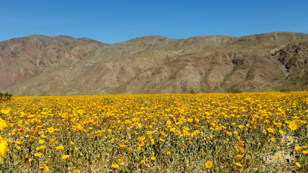 Winter Rains Bring Historic Desert Bloom