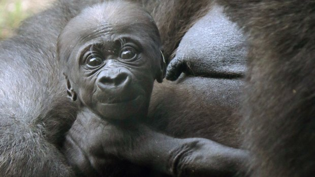 Adorable Zoo Babies: Baby Gorilla at the Dallas Zoo