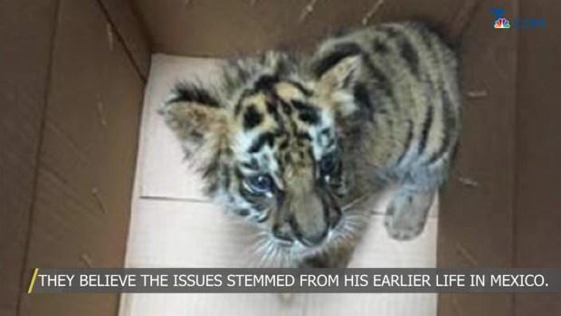 Smuggled Bengal Tiger Cub Undergoes Emergency Surgery: Safari Park