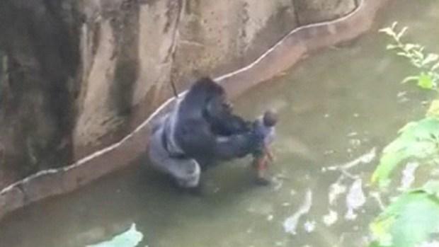 [NATL-LA] Full Video: Silverback Gorilla Grabs Boy at Cincinnati Zoo