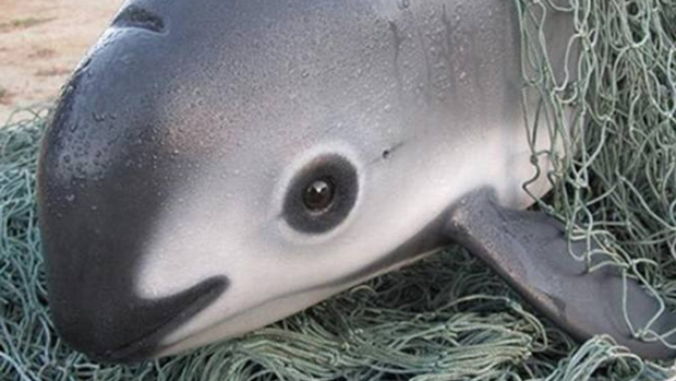 [NATL-LA]Meet the Vaquita, the Endangered Sea Mammal With 30 Members Left