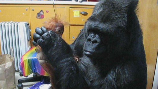 [NATL-V-BAY] Koko the Gorilla, Now 40-something