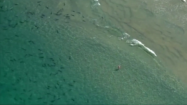Leopard Sharks Swimming Off California Coast