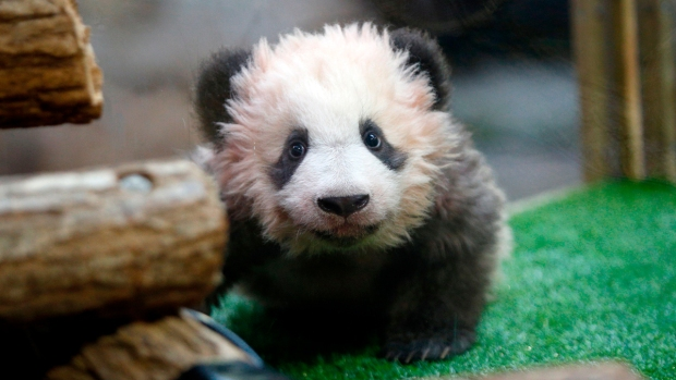 Adorable Zoo Babies: Baby Panda