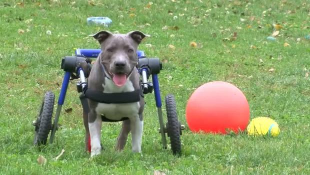 [NATL-DFW] Rehabbed Paralyzed Pup Needs Home