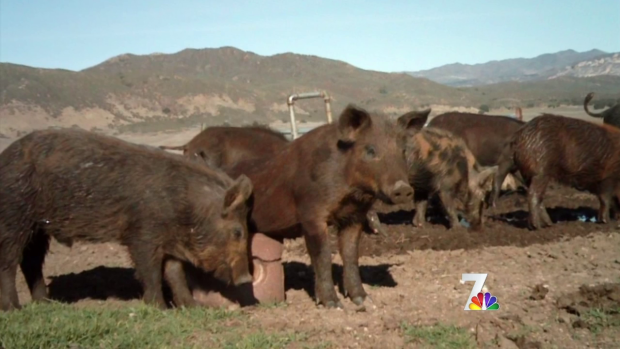 [DGO] East County Troubled by Feral Pig Population