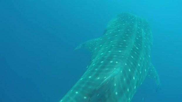 [DGO] RAW VIDEO: San Diegan Swims With Whale Shark