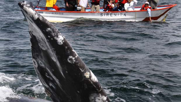 March 5, 2009: Whales Spotted in Ojo de Liebre Lagoon