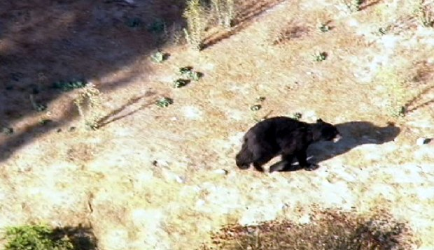 [LA] Bear Goes on a Tear Near Golf Course