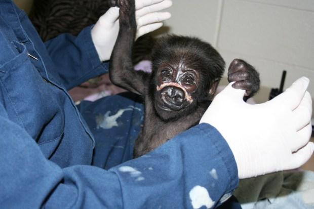 [CHI] Zoo Vet Updates on Baby Gorilla Injury