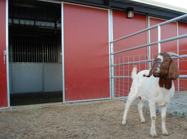 [LA] CHP Rescues Goat