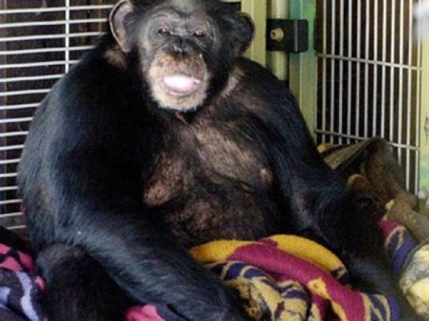 [NY] 911 Recording Reveals Details of Chimp Attack in Connecticut