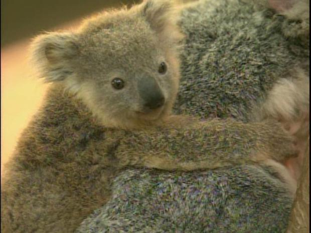 [DGO] Baby Koala Needs a Name