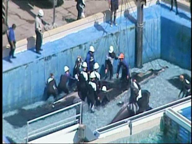 Raw Video: Killer Whale Dies at SeaWorld