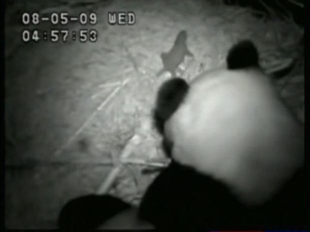 [DGO] Panda Mom Comforts Crying Cub