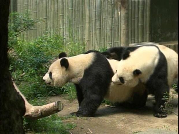 [DGO] Panda Porn