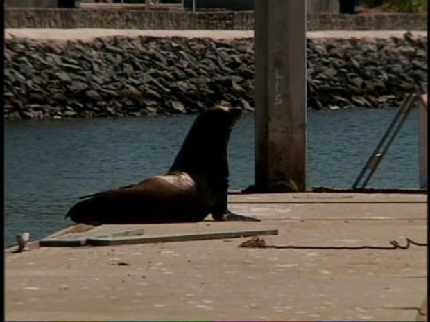 [DGO] Injured Sea Lion Evades Rescue