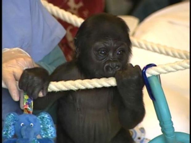 SF Zoo's Baby Gorilla Needs a Name!