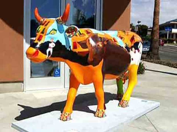 Cow Herd Comes To La Jolla
