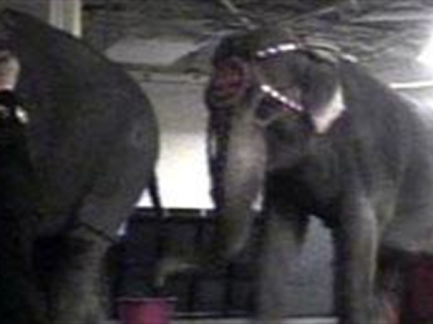 [NY] Caught on Tape: Elephant Abuse at Ringling Circus