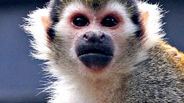 [BAY] Banana-Sam Hungry After Zoo Monkeynapping