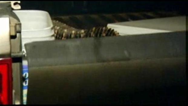[LA] Alligator the Size of Cocker Spaniel Found in Hemet Home
