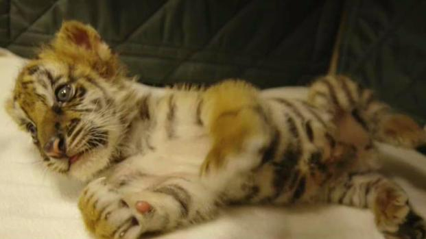 A Closer Look at the SD Zoo Safari Park's 2 New Tiger Cubs