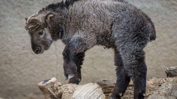 [DGO] Baby Takin Debuts at San Diego Zoo